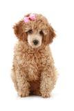 杏子弓小粉红色的长卷毛狗 图库摄影