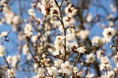 杏子或樱花花盛开在蓝天春季 库存图片