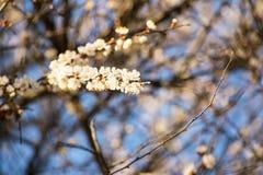 杏子或樱花花盛开在蓝天春季 免版税库存照片