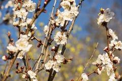 杏子或樱花花盛开在蓝天春季 免版税库存图片