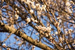 杏子或樱花花盛开在蓝天春季 库存照片
