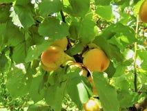 杏子果子在新西兰 免版税图库摄影