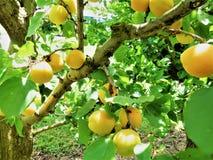 杏子果子在新西兰 库存图片
