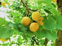 杏子果子在新西兰 免版税库存图片