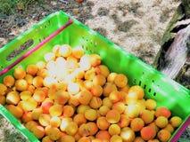 杏子果子在新西兰 图库摄影