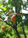杏子果树园在夏天 库存图片