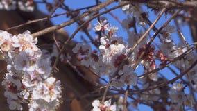 杏子果树绽放和蜜蜂飞行在花附近在背景