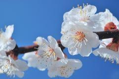 杏子绽放春天结构树 库存照片