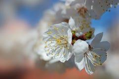 杏子绽放春天结构树 免版税库存图片