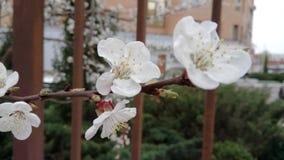 杏子美丽的白花在春天开花 图库摄影
