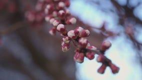 杏子花开始出现