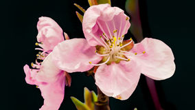 杏子被隔绝的花开花 影视素材