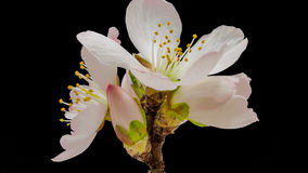 杏子被隔绝的花开花 股票录像