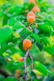 杏子 免版税图库摄影