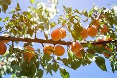 杏树分支用生长杏子 免版税库存照片