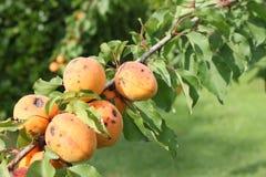 杏树分支 免版税图库摄影