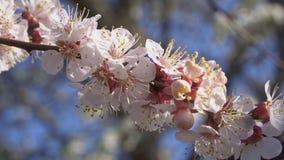 杏树开花非常恰好接近  影视素材