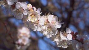 杏树开花非常恰好接近