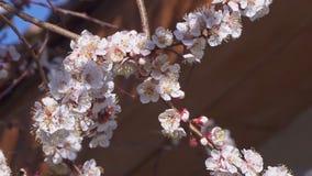杏树绽放和蜜蜂飞行在花附近