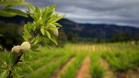 杏仁分支在葡萄园里 免版税库存图片