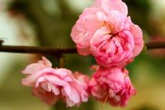 杏仁常春藤灌木。 免版税库存图片
