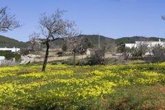 杏仁开花,伊维萨岛,西班牙 免版税库存照片
