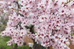 杏仁绽放充分的结构树 防御cesky遗产krumlov季节春天查看世界 美好的花backg 库存图片