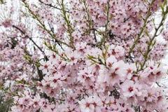 杏仁绽放充分的结构树 防御cesky遗产krumlov季节春天查看世界 美好的花backg 免版税图库摄影
