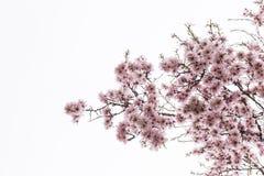 杏仁绽放充分的结构树 防御cesky遗产krumlov季节春天查看世界 美好的花backg 库存照片