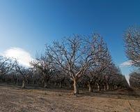 杏仁果树园在倍克斯城加利福尼亚附近的中央加利福尼亚 库存图片