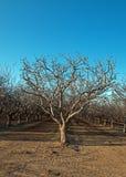 杏仁果树园在倍克斯城加利福尼亚附近的中央加利福尼亚 免版税图库摄影