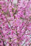 杏仁桃红色开花的灌木背景 库存图片