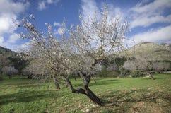 杏仁森林在马略卡 库存图片