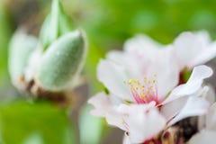 杏仁花开花的细节-浅DOF 免版税库存照片