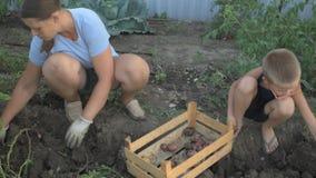 村庄孩子开掘入地面用他们的在potatSlender农民女孩开掘碎收获的土豆的庭院的手 股票视频