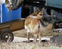 村庄庭院 狗 大红色狗狗在围场 库存图片