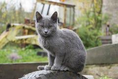 村庄灰色猫等待所有者 免版税库存图片