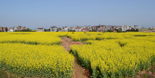 村庄的油菜季节 库存照片