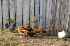 村庄鸡 库存照片