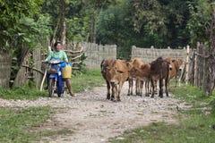 村民给领域带来母牛 免版税图库摄影
