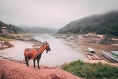 村民Pakbeng,老挝山羊被束缚 库存照片