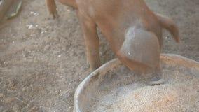 杜勒克猪品种幼小红色猪与白色来克亨鸡鸡一起吃从铝水池的被击碎的五谷 股票视频