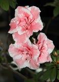 杜娟花夫妇开花与有白色边缘的桃红色瓣 库存照片