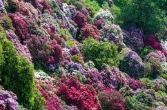 杜娟花庭院在意大利 免版税库存图片