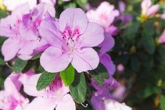 杜娟花开花的桃红色花 图库摄影