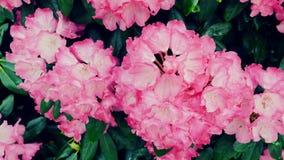 杜娟花开花粉红色 杜鹃花 照相机在滑子退回 颜色更正 股票视频