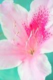 杜娟花特写镜头花粉红色 库存照片