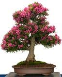 杜娟花盆景树的桃红色花 免版税库存照片
