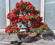 杜娟花盆景树 库存图片