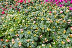 杜娟花种植开花在特写镜头 免版税图库摄影